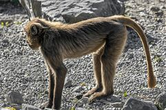 Jeune babouin de Gelada Images stock