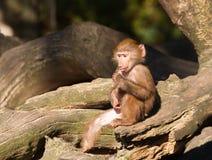 Jeune babouin de hamadryas photos stock