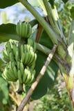 Jeune banane Images libres de droits