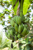 Jeune banane verte Image stock