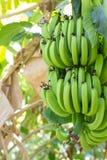 Jeune banane verte sur l'arbre Haut étroit de bananes non mûres Images libres de droits