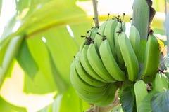 Jeune banane verte sur l'arbre Haut étroit de bananes non mûres Photos stock