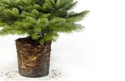 Jeune bannière verte d'arbre de Noël Photos libres de droits
