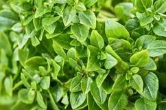 Jeune basilic vert frais avec le petit plan rapproché de feuilles photographie stock