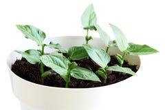 Jeune Bean Plant Photos libres de droits
