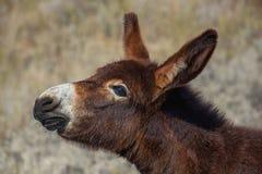 Jeune, beau, brun âne de couleur marchant dans un pâturage près d'a photos stock