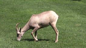 Jeune Bighorn Ram Grazing de désert Images stock
