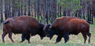 Jeune Bison Buffalo Bulls Sparring en parc national de caverne de vent Photos libres de droits