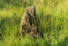 Jeune bison sur le pâturage en été photographie stock