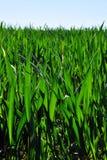 Jeune blé Photo stock