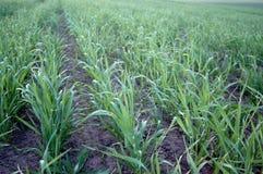 Jeune blé Image libre de droits