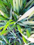 Jeune blé photographie stock