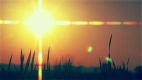Jeune blé allumé par le coucher de soleil clips vidéos