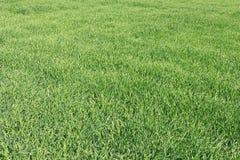 Jeune blé dans le terrain Jeunes pousses de blé Photos libres de droits