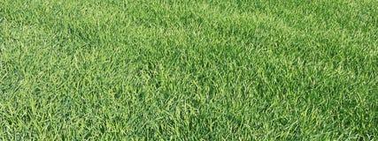Jeune blé dans le terrain Jeunes pousses de blé Images stock