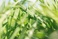 Jeune blé s'élevant dans la vue de plan rapproché de champ Photographie stock