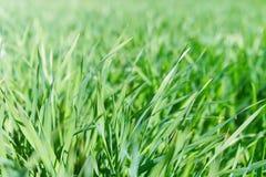 Jeune blé s'élevant dans la vue de plan rapproché de champ Images libres de droits