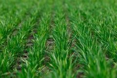 Jeune blé s'élevant dans les rangées ordonnées de champ Images libres de droits