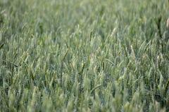 Jeune blé vert photographie stock libre de droits