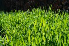 Jeune blé vert s'élevant dans le sol Jeune élevage de jeunes plantes de blé Photographie stock libre de droits