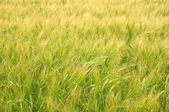 Jeune blé en début de l'été Photos libres de droits