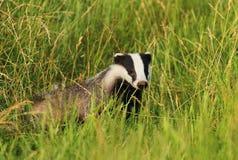 Jeune blaireau dans l'herbe Photographie stock