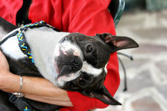 Jeune Boston Terrier Images libres de droits