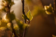 Jeune bouleau de feuille avec de la toile d'araignée dans les rayons du coucher de soleil Image libre de droits
