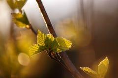 Jeune bouleau de feuille dans les rayons du coucher de soleil Photographie stock