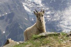 Jeune bouquetin dans les montagnes Alpes français Photo libre de droits