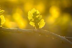 Jeune branche avec des sunlights dans les vignobles Photographie stock libre de droits