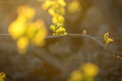 Jeune branche avec des sunlights dans les vignobles Photo stock