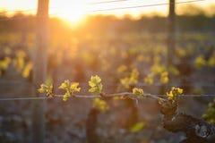 Jeune branche avec des sunlights dans les vignobles Images libres de droits