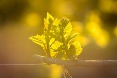 Jeune branche avec des sunlights dans les vignobles Photo libre de droits