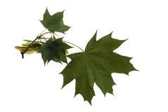 Jeune branche d'érable avec des graines Photographie stock libre de droits