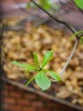 Jeune branche d'arbre de catappa de Terminalia avec la feuille jaune trouble dessus Photo libre de droits