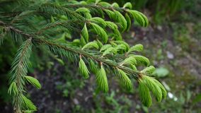 Jeune branche d'arbre verte de sapin se déplaçant la brise de vent léger closeup banque de vidéos