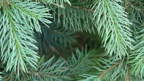 Jeune branche d'arbre verte de sapin se déplaçant la brise de vent léger closeup Cadre décoratif naturel Charge statique de tir d banque de vidéos