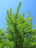 Jeune branche de pin Photo libre de droits