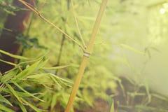 Jeune branche en bambou Photo libre de droits