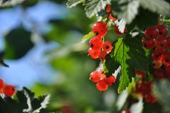 Jeune branche verte fraîche colorée avec le plan rapproché de groseille rouge photos stock