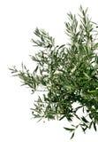 Jeune branchement d'olivier Photographie stock