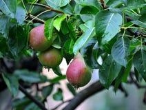 Jeune brindille fraîche de fruit de poire Images libres de droits