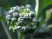 Jeune broccoli Image libre de droits