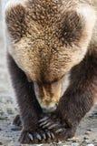 Jeune Brown ours gris de l'Alaska mangeant une palourde Images stock