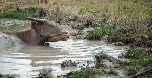 Jeune buffle dans l'eau photo libre de droits
