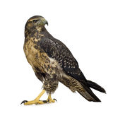 Jeune Buse-aigle Noir-chested Photographie stock