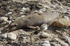Jeune cadavre 002 de dauphin Photos stock