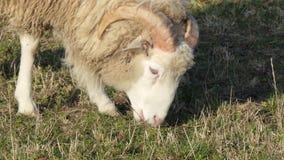 Jeune caillot ou RAM pâturant sur le champ d'herbe banque de vidéos