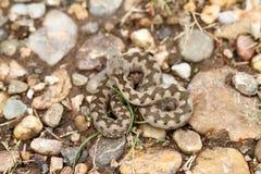 Jeune camouflage européen de vipère de sable Photographie stock